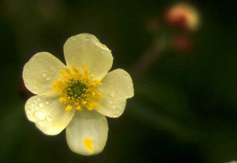 Renoncule à feuilles d_aconit, fleur gros plan